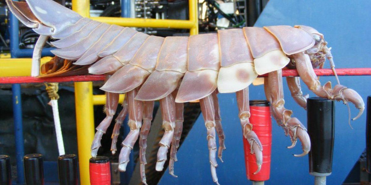 Giant deep sea isopod
