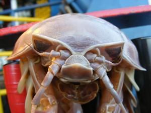 Isopod 2
