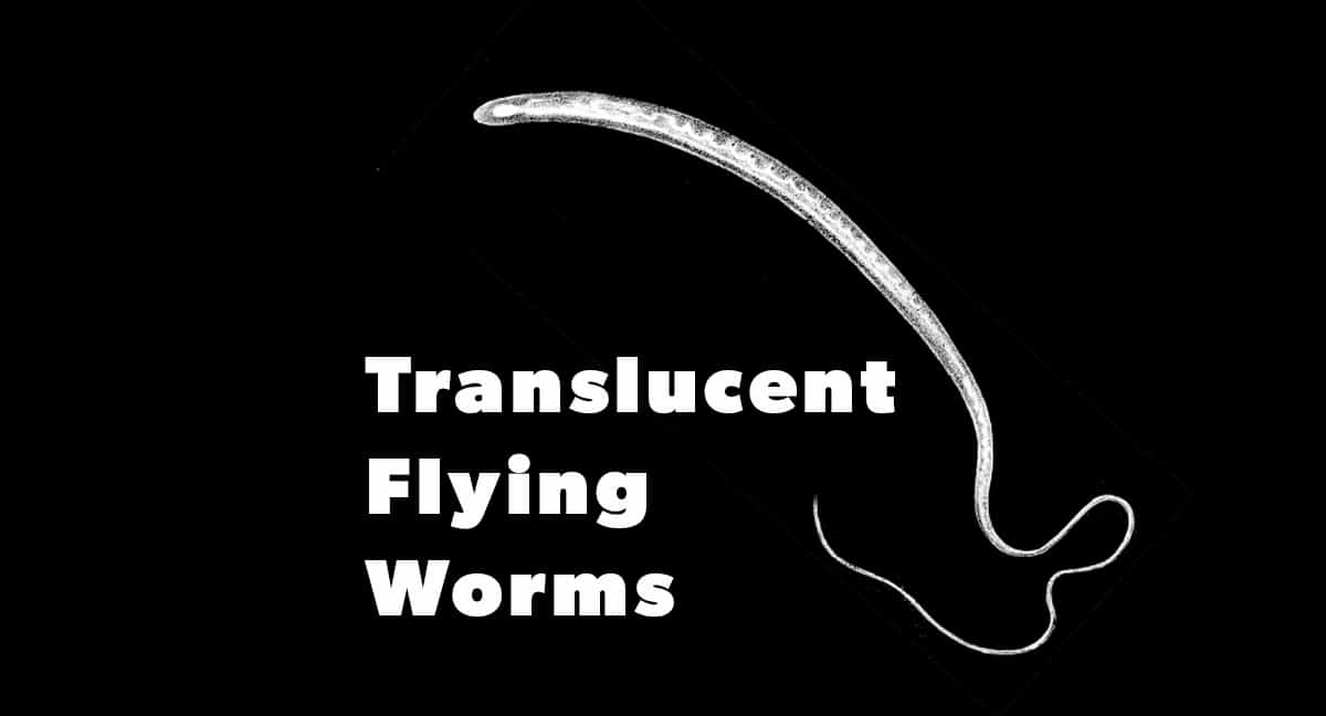 Reports of translucent flying Worms