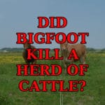 Did Bigfoot kill a herd of cattle?