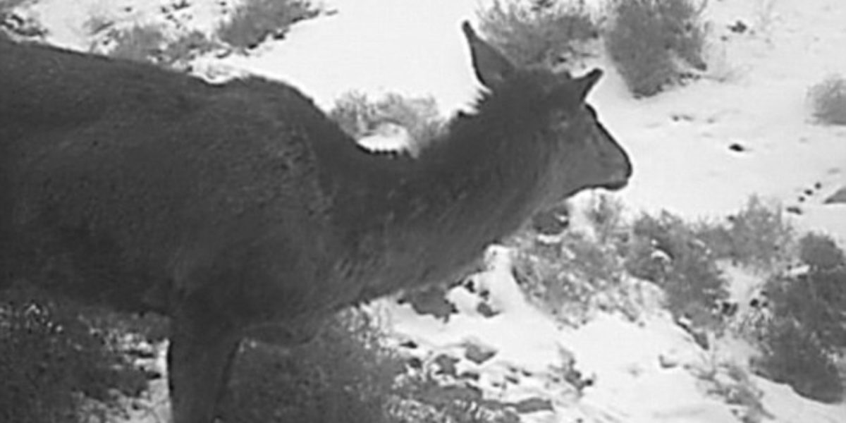 China's Horse Deer Cryptid